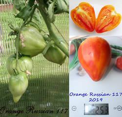 Orange Russian 117.jpg