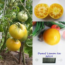 Dwarf Lemon Ice.jpg