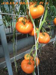 Amana Orange  ЗГ  23.08. 2019 .jpg