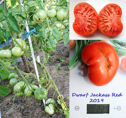 Dwarf Jackass Red.jpg