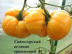 Саяногорский великан оранжевый.JPG