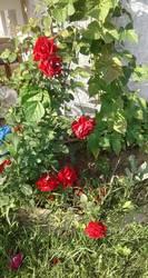 Роза плетистая.jpg
