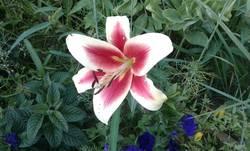 лилия ароматная.jpg