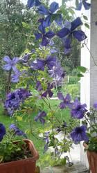 Клематис фиолет.jpg