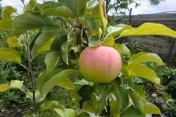 Орлик первое яблочко