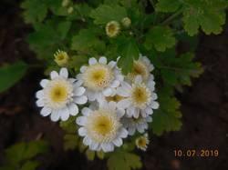 Карликовая хризантема. Белая.