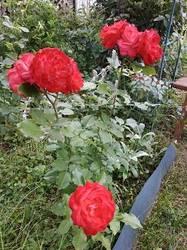 Роза Мидсаммер