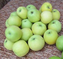 Яблоки Голден Делишес.JPG