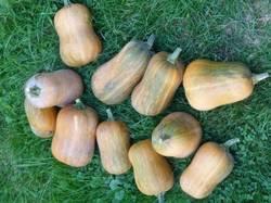 Honeynut : 1 сбор