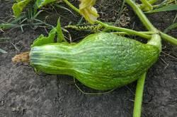 Зеленый хаббард