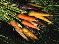 Разноцветные гибриды моркови