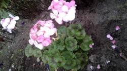 раффаэла розовая