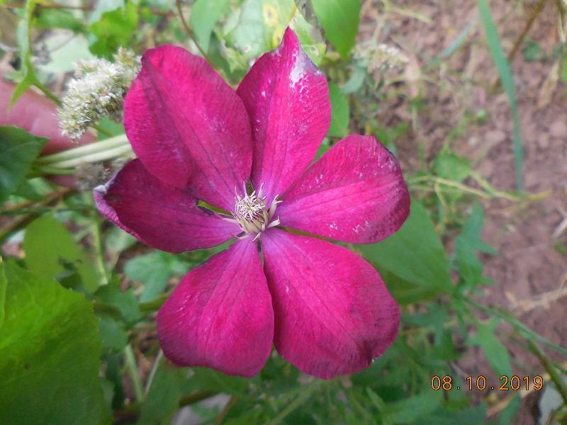 Последний цветок клематиса