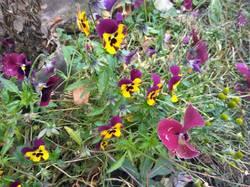 во всю цветут виолы.jpg