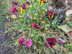 во всю цветут виолы1.jpg