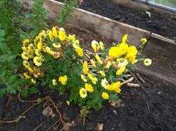пересадила хризантемы мультифлоры сегодня в теплицу1.jpg