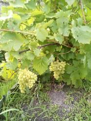 Созрел виноград 20190830.jpg