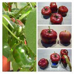 Rocoto Arequipa Giant Red