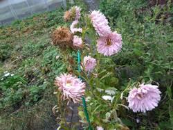 астры бледно-розовые, поздние хочется собрать семян.jpg