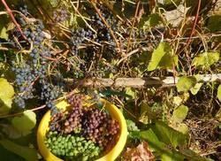 Последний сбор винограда. Амурские сорта.