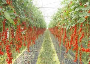 Pachino-Tomatoes-Italy.thumb.jpg.1d1f62c1607fed50f49db34396b5022a.jpg