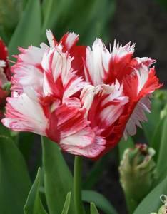 Tulip-Estella-Rijnveld_7272-2.thumb.jpg.beeff0b750e5d6b8804f7af2176e48cf.jpg