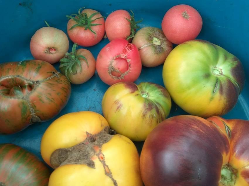 помидоры Канары вверху.jpg