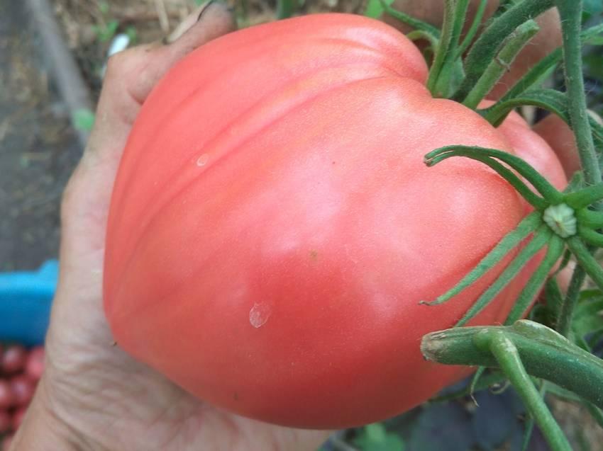 помидоры Горное сердце альпиниста.jpg