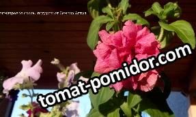 томаты ог