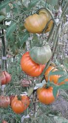 Нем. оранжевая клубника2.jpg