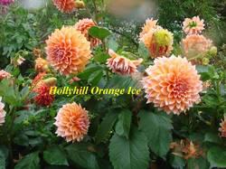 Hollyhill Orange Ice (2).JPG