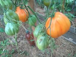 помидоры Жоутая торбачка.jpg