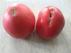 помидоры Канары.jpg