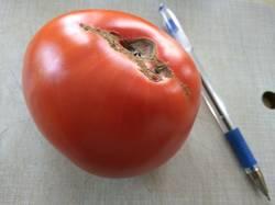 помидоры Крупные красные.jpg