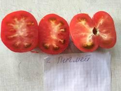 помидоры Пигмей.jpg