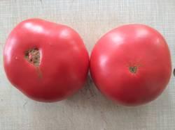 помидоры Авентюняй.jpg