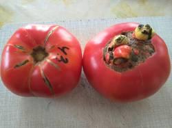помидоры Король ананас.jpg