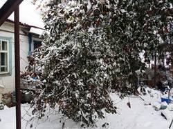 2019-11-02_08-14-36_147 Сломалась ветка вишни от снега.