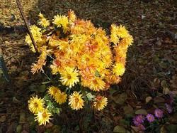 2019-11-12_12-01-23_236 Хризантемы после снегопада