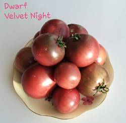Dwarf Velvet Night .jpg