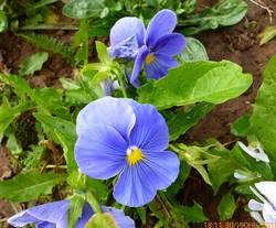 Виола виттрока Inspire® Plus True Blue
