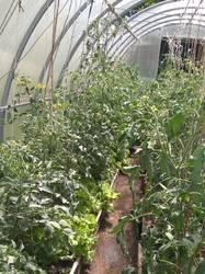 помидоры и салат в июне.jpg