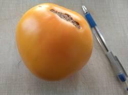 помидоры Лунный восторг.jpg