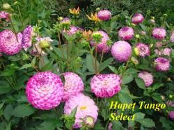 Hapet Tango Select.JPG