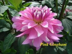 Pink Gingham (2).jpg