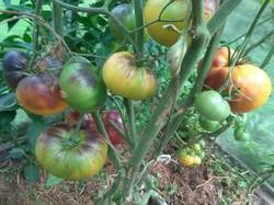 помидоры Afternoon Delight.jpg