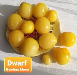 Dwarf Bendigo Moon .jpg