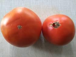 помидоры Шиловские.jpg