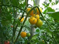 помидоры Подарок феи.jpg