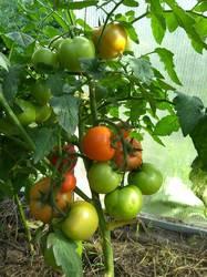Пересорт Гопака- дет с круглыми плотными красными помидорами.jpg